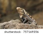 iguana on rock | Shutterstock . vector #757169356