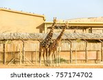 giraffe couple in a zoo | Shutterstock . vector #757174702