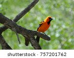 Small photo of The altamira oriole is one of the many beautiful species of orioles.