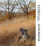 Yawning Tiger Cub At...