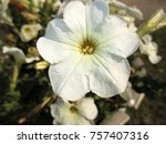 petunias are widely popular in... | Shutterstock . vector #757407316