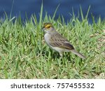 Small photo of Yellow-browed sparrow (Ammodramus aurifrons) Emberizidae family, Amazonas, Brazil