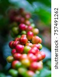 coffee beans ripening on coffee ... | Shutterstock . vector #757491262