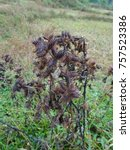 Small photo of Ripe black xanthium or common cocklebur fruit at a field close up macro bunch