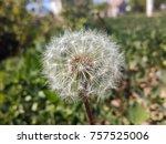 White Dandelion In The Grass....