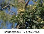 Small photo of Black wattle, Acacia mearnsii, has yellow flowers and small leaves that gather in bunch
