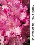 yakushima rhododendron cultivar ... | Shutterstock . vector #757540882