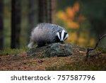 european badger  meles meles ... | Shutterstock . vector #757587796
