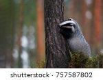european badger  meles meles ... | Shutterstock . vector #757587802