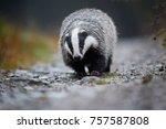 european badger  meles meles.... | Shutterstock . vector #757587808