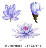Stock vector a beautiful realistic illustration of a pastel purple lotus lily a magnolia in front view and a 757627546