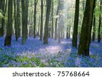 Bluebell Wood  England