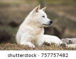 portrait of a korean jindo dog. ... | Shutterstock . vector #757757482