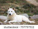 portrait of a korean jindo dog. ... | Shutterstock . vector #757757512