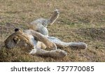 lioness rolling around | Shutterstock . vector #757770085