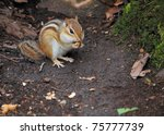 An Eastern Chipmunk Perched On...
