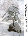 Small photo of young tree (Abies alba) fir in the snow