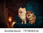 Two Dogs A Pomeranian Sitting...