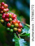 coffee beans ripening on coffee ... | Shutterstock . vector #757881772