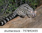 large spotted genet  genetta... | Shutterstock . vector #757892455