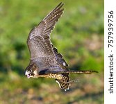 Small photo of Peregrine Falcon flying Falco peregrinus.