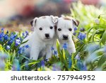 Stock photo two white jack russell terrier puppies sitting among blue flowers in summer 757944952