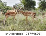 a young male and female impala  ...   Shutterstock . vector #75794608