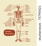 human skeleton | Shutterstock .eps vector #75795421