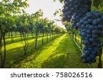 grape harvest in chianti italy   Shutterstock . vector #758026516