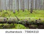 Fallen Spruce Tree In The...