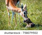thomson's gazelle urging her... | Shutterstock . vector #758079502