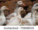close up of ducks on field   Shutterstock . vector #758088532