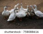 close up of ducks on field   Shutterstock . vector #758088616