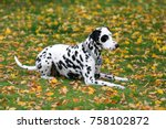 Dalmatian dog laying on a grass
