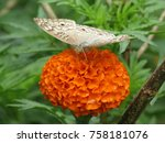 Stock photo marigold flowers and butterfly 758181076
