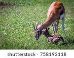 thomson's gazelle urging her... | Shutterstock . vector #758193118