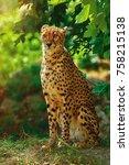 cheetah  acinonyx jubatus ... | Shutterstock . vector #758215138