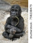 Stock photo small western lowland gorilla gorilla gorilla gorilla is having fun chewing twigs 758238475