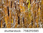 Cattails In A Wetland