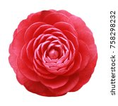 Stock photo camellia red flower white background isolated with saved clipping path 758298232