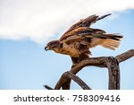 Small photo of A Ferruginous Hawk perched