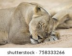 Close Up Of A Lioness Lying...