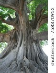 Small photo of A very large fromager tree in Senegal
