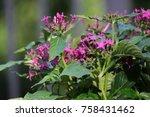pink purple pentas flower plant