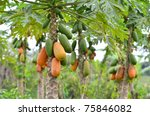Bunch Of Papayas Hanging From...