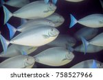 Small photo of Acanthuridae is the family of surgeonfishes, tangs, and unicornfishes