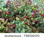 wild lingonberries growing... | Shutterstock . vector #758530192