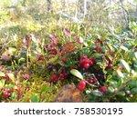 wild lingonberries growing... | Shutterstock . vector #758530195