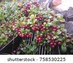 harvesting of lingonberries by... | Shutterstock . vector #758530225
