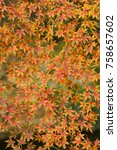 Small photo of Autumnal foliage of ornamental Maple tree, Acer palmatum.